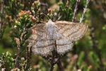 Heide-Streifenspanner (Perconia strigillaria)